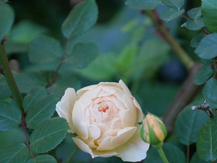 ジュード・ジ・オブスキュア(半ツルバラ)の花が増えてきた。2020年-002.jpg