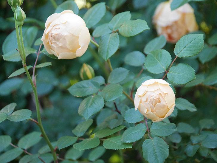 ジュード・ジ・オブスキュア(半ツルバラ)の花が増えてきた。2020年-003.jpg