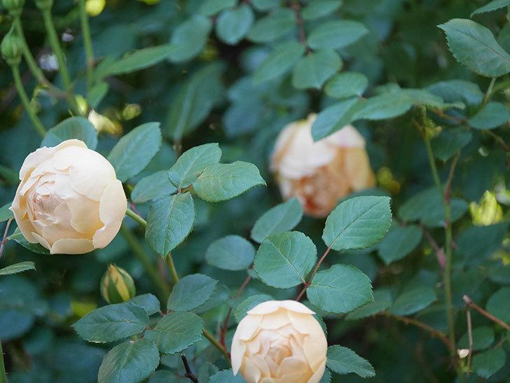 ジュード・ジ・オブスキュア(半ツルバラ)の花が増えてきた。2020年-004.jpg