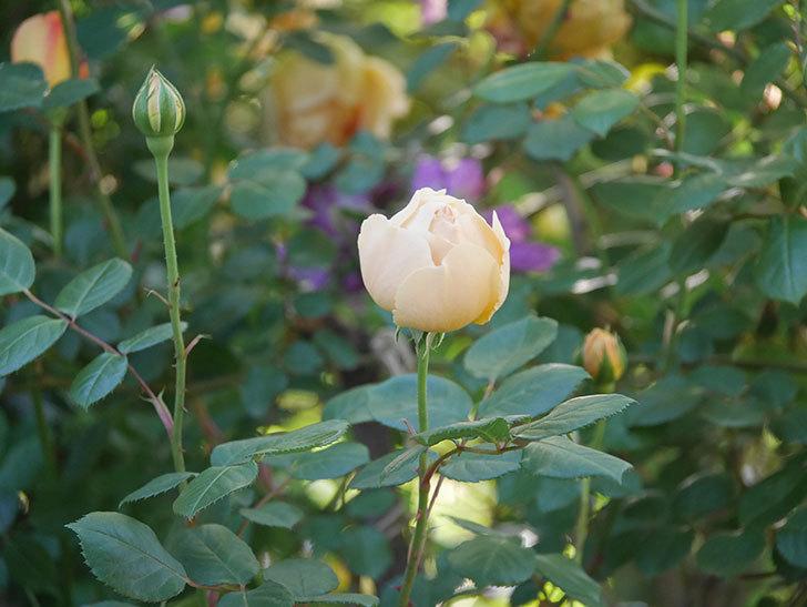 ジュード・ジ・オブスキュア(半ツルバラ)の花が増えてきた。2020年-005.jpg