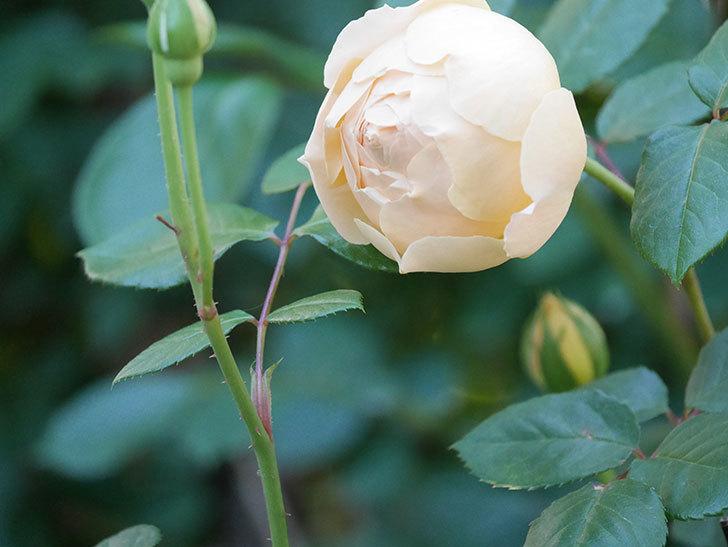 ジュード・ジ・オブスキュア(半ツルバラ)の花が増えてきた。2020年-006.jpg