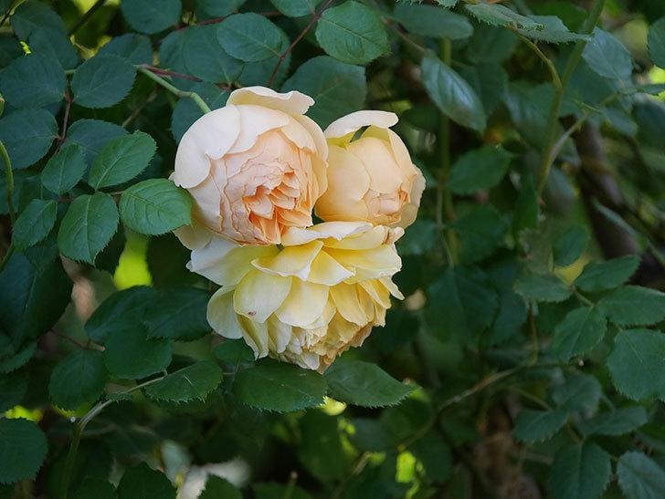 ジュード・ジ・オブスキュア(半ツルバラ)の花が増えてきた。2020年-007.jpg