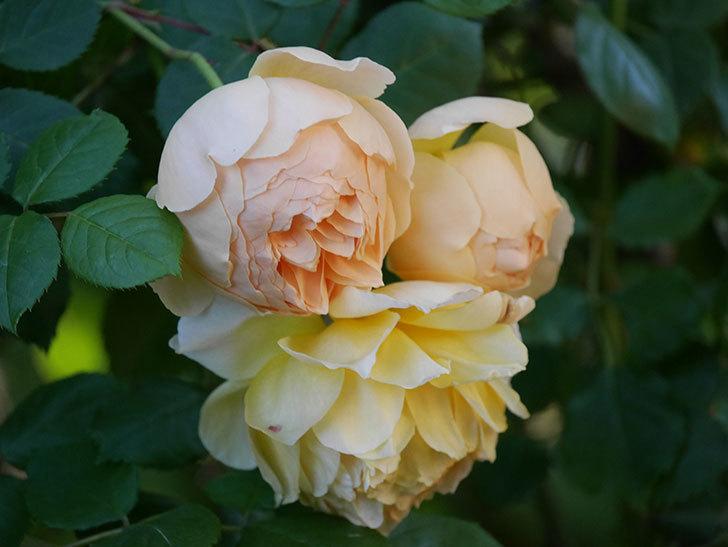 ジュード・ジ・オブスキュア(半ツルバラ)の花が増えてきた。2020年-008.jpg
