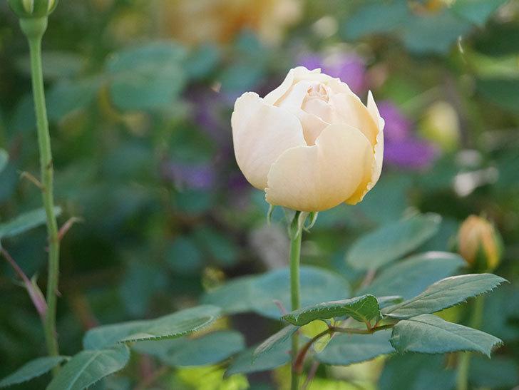 ジュード・ジ・オブスキュア(半ツルバラ)の花が増えてきた。2020年-009.jpg