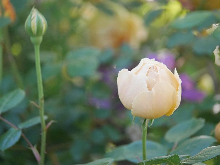 ジュード・ジ・オブスキュア(半ツルバラ)の花が増えてきた。2020年-010.jpg