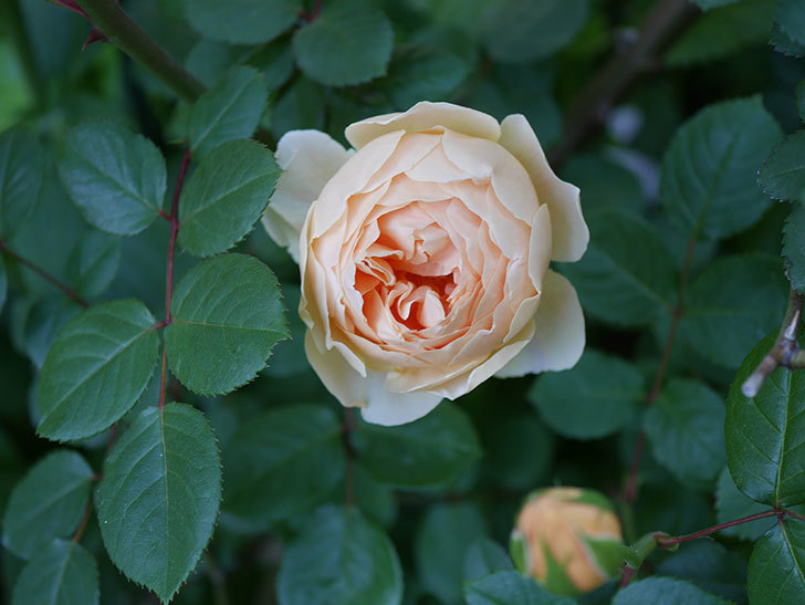 ジュード・ジ・オブスキュア(半ツルバラ)の花が増えてきた。2020年-011.jpg