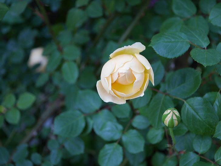 ジュード・ジ・オブスキュア(半ツルバラ)の花が増えてきた。2020年-012.jpg