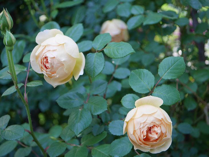 ジュード・ジ・オブスキュア(半ツルバラ)の花が増えてきた。2020年-013.jpg