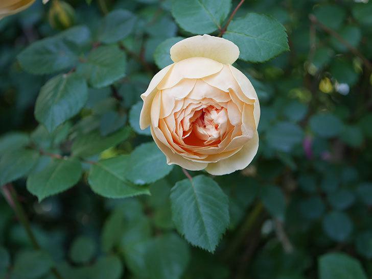 ジュード・ジ・オブスキュア(半ツルバラ)の花が増えてきた。2020年-014.jpg
