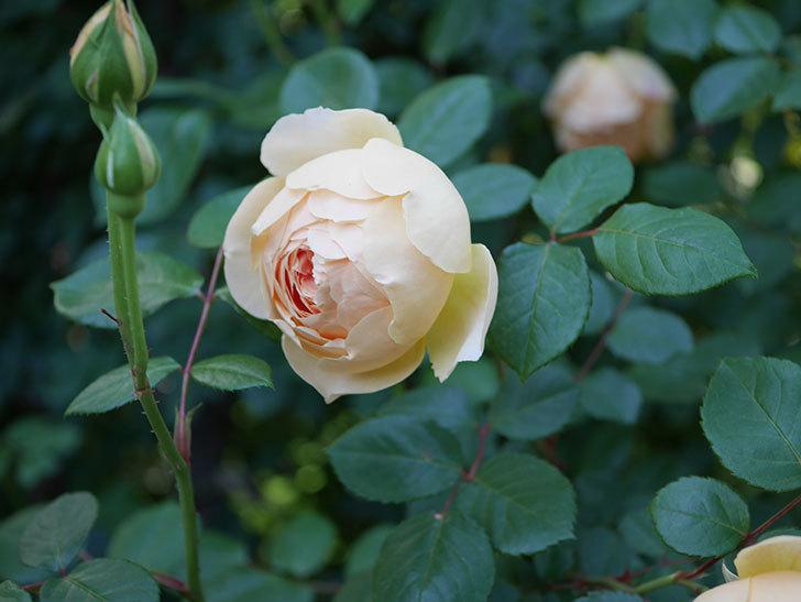 ジュード・ジ・オブスキュア(半ツルバラ)の花が増えてきた。2020年-015.jpg