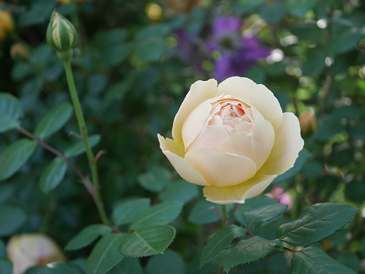ジュード・ジ・オブスキュア(半ツルバラ)の花が増えてきた。2020年-016.jpg