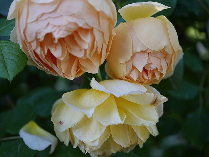 ジュード・ジ・オブスキュア(半ツルバラ)の花が増えてきた。2020年-017.jpg