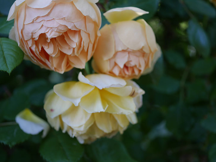 ジュード・ジ・オブスキュア(半ツルバラ)の花が増えてきた。2020年-018.jpg