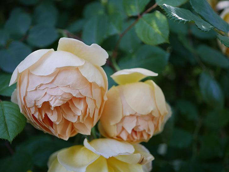 ジュード・ジ・オブスキュア(半ツルバラ)の花が増えてきた。2020年-019.jpg