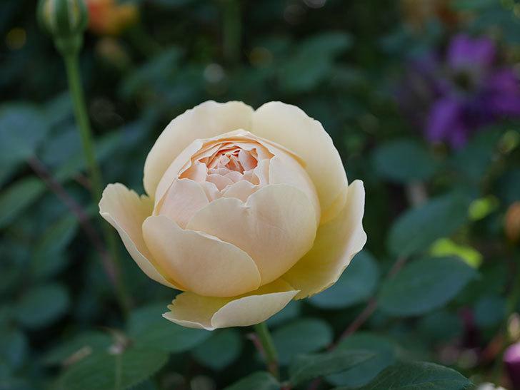 ジュード・ジ・オブスキュア(半ツルバラ)の花が増えてきた。2020年-020.jpg