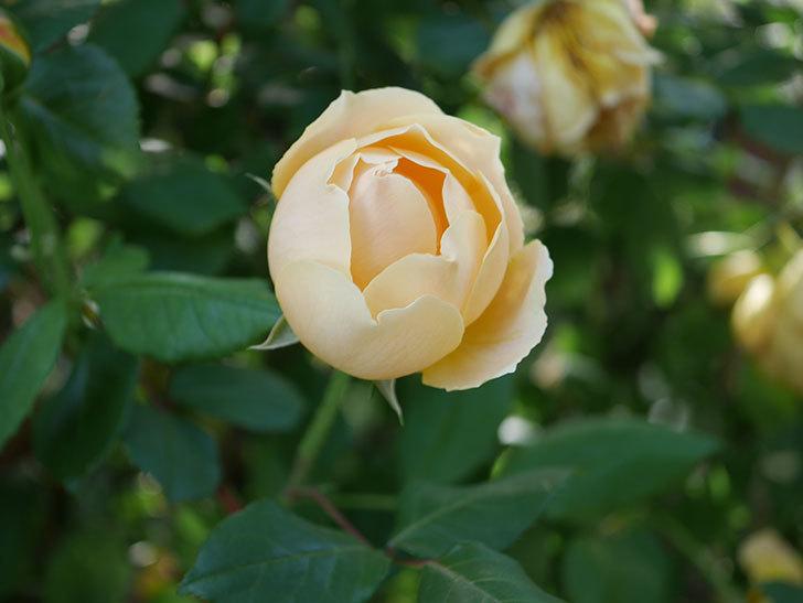 ジュード・ジ・オブスキュア(半ツルバラ)の花が増えてきた。2020年-021.jpg