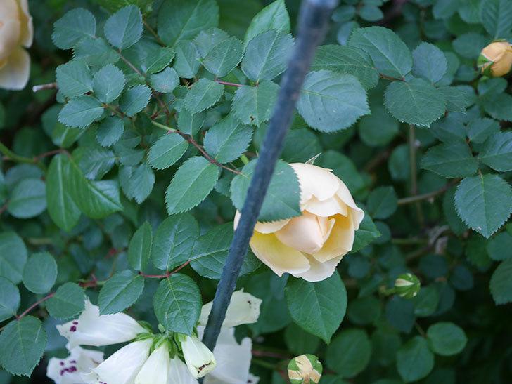 ジュード・ジ・オブスキュア(半ツルバラ)の花が増えてきた。2020年-022.jpg
