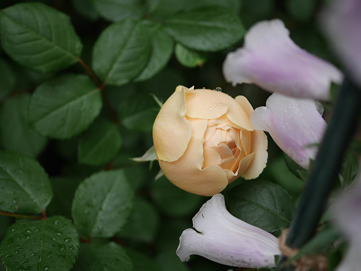 ジュード・ジ・オブスキュア(半ツルバラ)の花が増えてきた。2020年-023.jpg