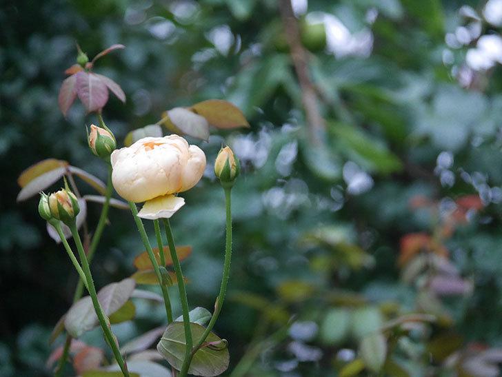 ジュード・ジ・オブスキュア(Jude the Obscure)の2番花がまた咲いた。半ツルバラ。2020年-001.jpg
