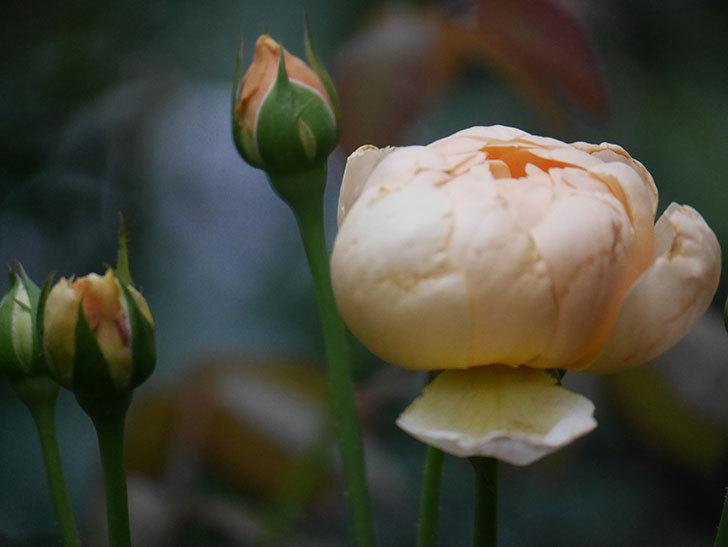 ジュード・ジ・オブスキュア(Jude the Obscure)の2番花がまた咲いた。半ツルバラ。2020年-002.jpg