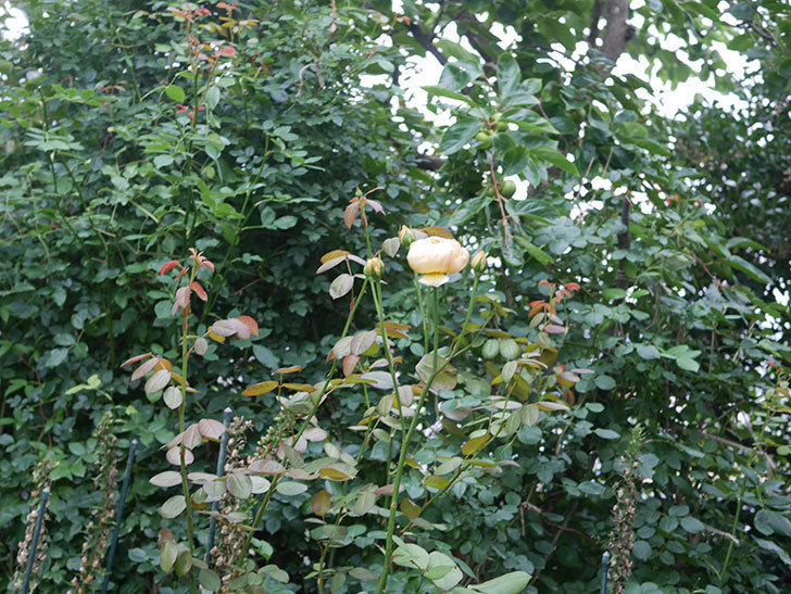 ジュード・ジ・オブスキュア(Jude the Obscure)の2番花がまた咲いた。半ツルバラ。2020年-003.jpg