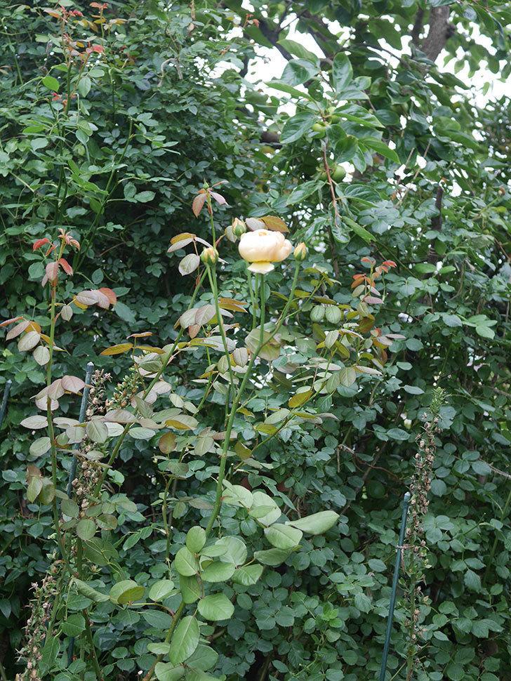 ジュード・ジ・オブスキュア(Jude the Obscure)の2番花がまた咲いた。半ツルバラ。2020年-004.jpg