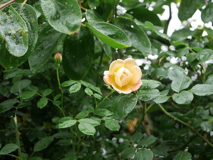ジュード・ジ・オブスキュア(Jude the Obscure)の2番花が咲いた。半ツルバラ。2020年-001.jpg