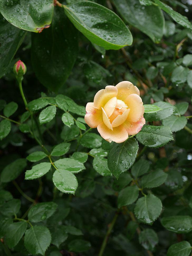ジュード・ジ・オブスキュア(Jude the Obscure)の2番花が咲いた。半ツルバラ。2020年-002.jpg