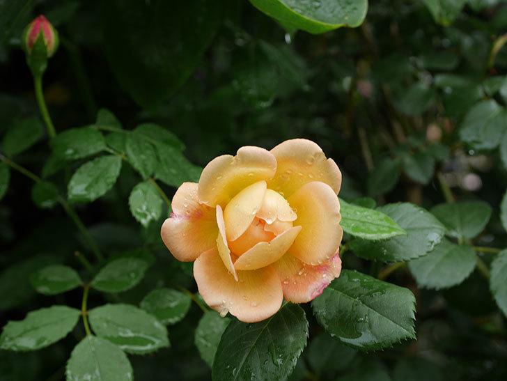 ジュード・ジ・オブスキュア(Jude the Obscure)の2番花が咲いた。半ツルバラ。2020年-003.jpg