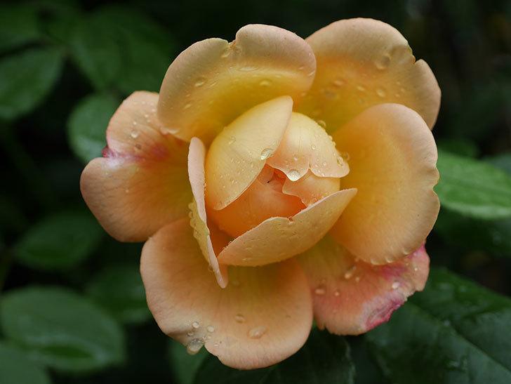 ジュード・ジ・オブスキュア(Jude the Obscure)の2番花が咲いた。半ツルバラ。2020年-004.jpg