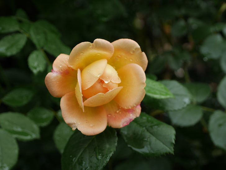 ジュード・ジ・オブスキュア(Jude the Obscure)の2番花が咲いた。半ツルバラ。2020年-005.jpg
