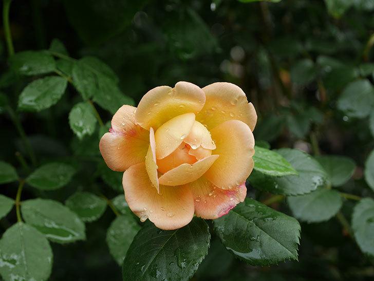 ジュード・ジ・オブスキュア(Jude the Obscure)の2番花が咲いた。半ツルバラ。2020年-006.jpg