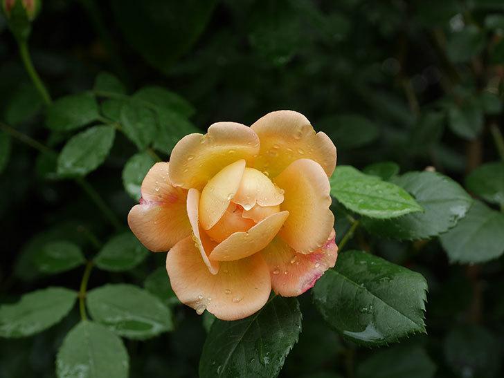 ジュード・ジ・オブスキュア(Jude the Obscure)の2番花が咲いた。半ツルバラ。2020年-007.jpg