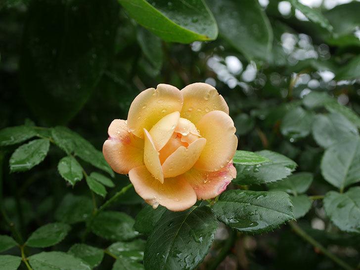 ジュード・ジ・オブスキュア(Jude the Obscure)の2番花が咲いた。半ツルバラ。2020年-008.jpg