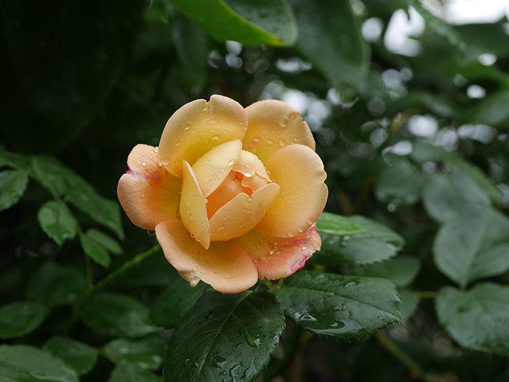 ジュード・ジ・オブスキュア(Jude the Obscure)の2番花が咲いた。半ツルバラ。2020年-009.jpg