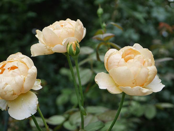 ジュード・ジ・オブスキュア(Jude the Obscure)の2番花が房で咲いた。半ツルバラ。2020年-001.jpg