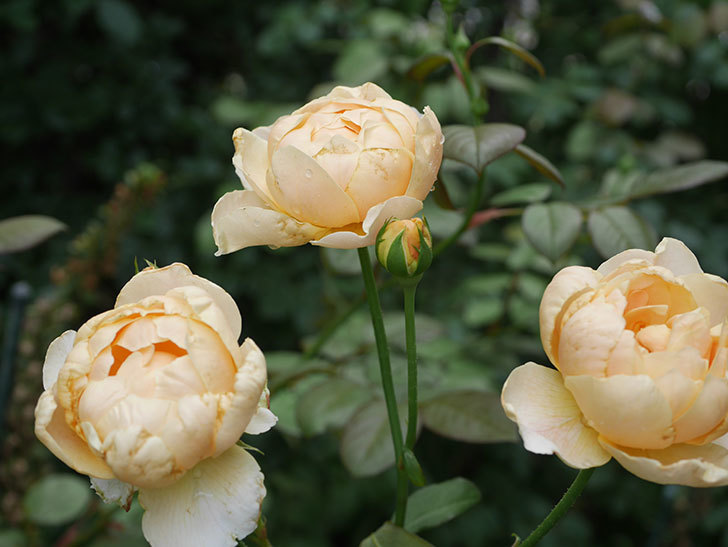 ジュード・ジ・オブスキュア(Jude the Obscure)の2番花が房で咲いた。半ツルバラ。2020年-002.jpg