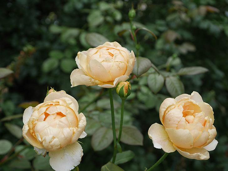 ジュード・ジ・オブスキュア(Jude the Obscure)の2番花が房で咲いた。半ツルバラ。2020年-003.jpg