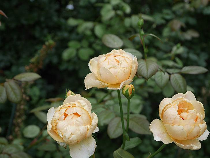 ジュード・ジ・オブスキュア(Jude the Obscure)の2番花が房で咲いた。半ツルバラ。2020年-004.jpg