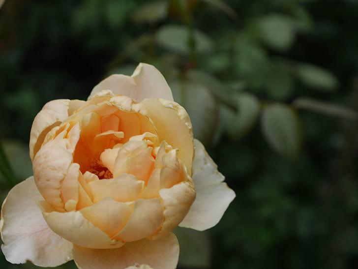 ジュード・ジ・オブスキュア(Jude the Obscure)の2番花が房で咲いた。半ツルバラ。2020年-005.jpg
