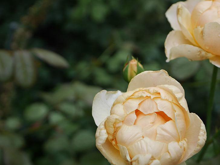 ジュード・ジ・オブスキュア(Jude the Obscure)の2番花が房で咲いた。半ツルバラ。2020年-006.jpg