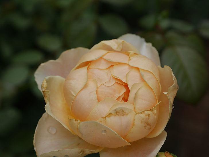 ジュード・ジ・オブスキュア(Jude the Obscure)の2番花が房で咲いた。半ツルバラ。2020年-007.jpg