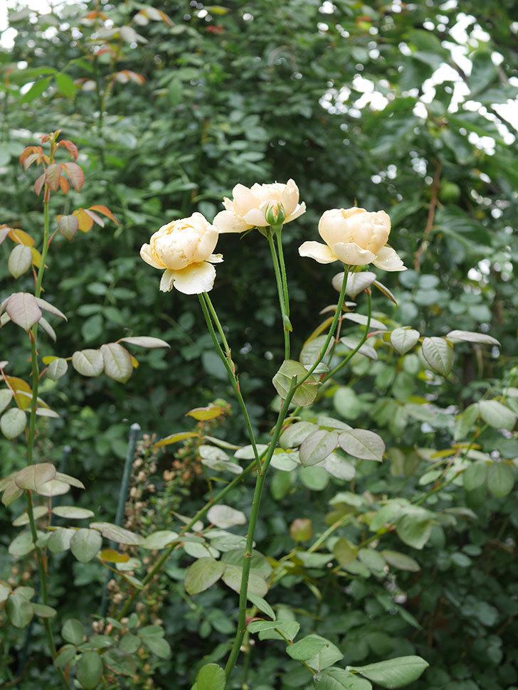 ジュード・ジ・オブスキュア(Jude the Obscure)の2番花が房で咲いた。半ツルバラ。2020年-008.jpg