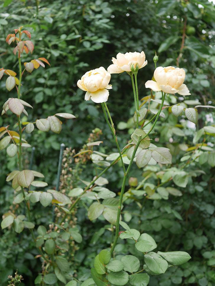 ジュード・ジ・オブスキュア(Jude the Obscure)の2番花が房で咲いた。半ツルバラ。2020年-009.jpg