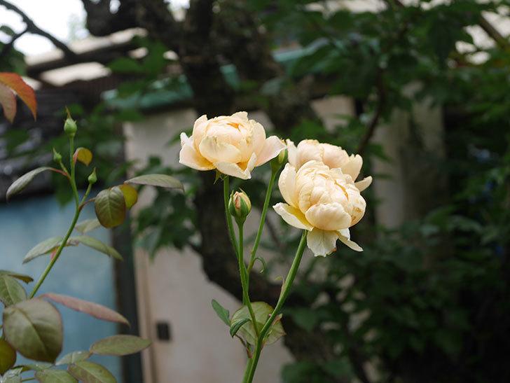 ジュード・ジ・オブスキュア(Jude the Obscure)の2番花が房で咲いた。半ツルバラ。2020年-011.jpg