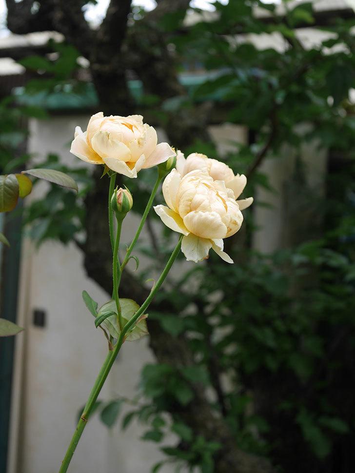 ジュード・ジ・オブスキュア(Jude the Obscure)の2番花が房で咲いた。半ツルバラ。2020年-012.jpg