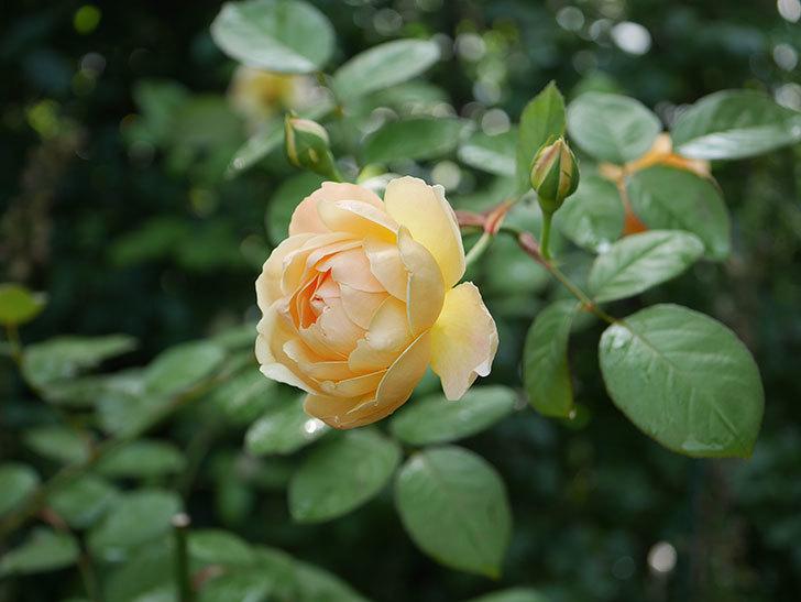 ジュード・ジ・オブスキュア(Jude the Obscure)の2番花が綺麗に咲いた。半ツルバラ。2020年-001.jpg