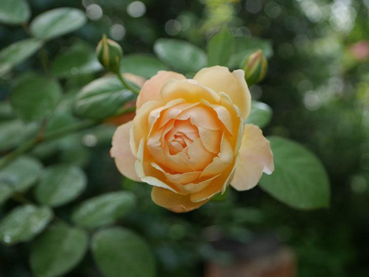 ジュード・ジ・オブスキュア(Jude the Obscure)の2番花が綺麗に咲いた。半ツルバラ。2020年-002.jpg