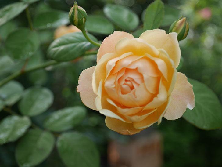 ジュード・ジ・オブスキュア(Jude the Obscure)の2番花が綺麗に咲いた。半ツルバラ。2020年-003.jpg