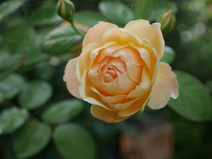 ジュード・ジ・オブスキュア(Jude the Obscure)の2番花が綺麗に咲いた。半ツルバラ。2020年-004.jpg